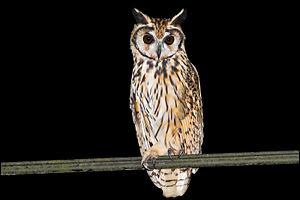 Striped owl - Striped owl