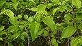 Strychnos brasiliensis (Spreng.) Mart. - Flickr - Alex Popovkin, Bahia, Brazil (24).jpg
