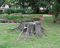 Stump of Elm on Povarskaya Street.jpg