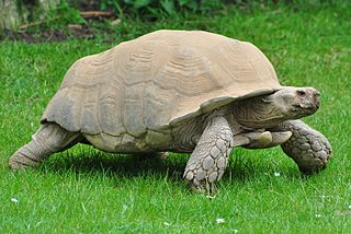 African spurred tortoise species of reptile