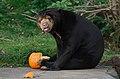 Sun bear treats (30042431543).jpg