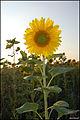 Sunflower (4884641939).jpg