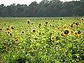 Sunflower FIeld in Qiaotou Sugar Refinery 橋頭糖廠向日葵田 - panoramio.jpg