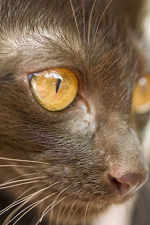 Suphalak - Suphalak eye, whisker and nose color