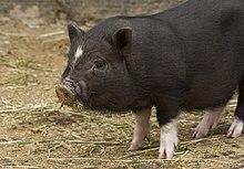 Sus scrofa domesticus, miniature pig, juvenile.jpg
