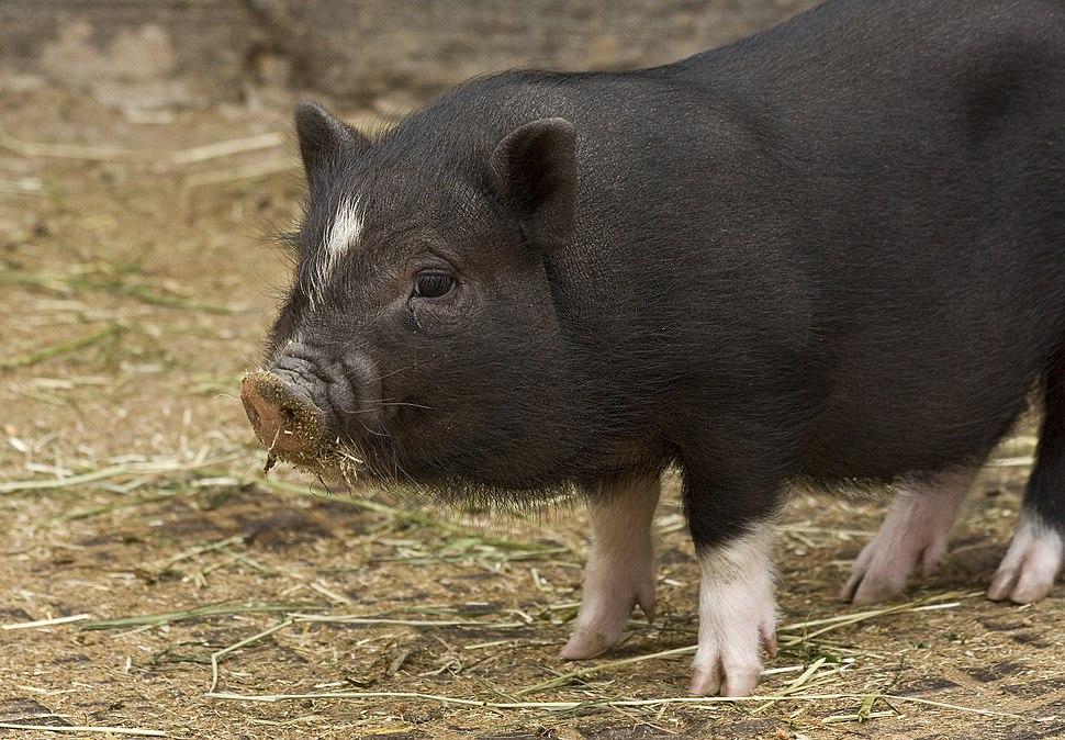 Sus scrofa domesticus, miniature pig, juvenile