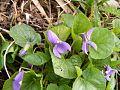 Sweet-Violet Viola-Odorata 42954-480x360 (4816894839).jpg