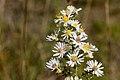 Symphyotrichum ericoides - Flickr - aspidoscelis (1).jpg