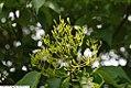 Syringa reticulata Ivory Silk 6zz.jpg