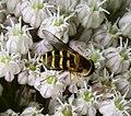 Syrphus sp female (36010103490).jpg