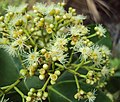 Syzygium caryophyllatum 37.JPG