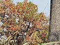 Syzygium operculatum Kaziranga AJTJ.JPG
