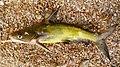 Tachysurus fulvidraco from the Lake Khanka.jpg