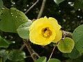 Talipariti tiliaceum (early flower).jpg