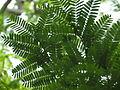 Tamarindus indica044.JPG