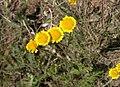 Tanacetum millefolium.jpg