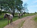 Tarpan Herd.jpg