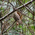 Tawny-bellied Babbler (Dumetia hyperythra) W IMG 9233.jpg