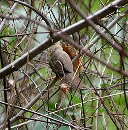 Tawny-bellied Babbler (Dumetia hyperythra) W IMG 9233