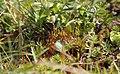 Tayloria serrata.jpg