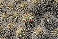Teguise Guatiza - Jardin - Mammillaria compressa 02 ies.jpg