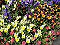 Teignmouth Blooms Again - 9 - Flickr - Sir Hectimere.jpg