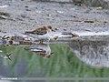 Temminck's Stint (Calidris temminckii) (44771221425).jpg