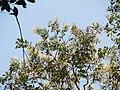 Terminalia paniculata at Aralam Wildlife Sanctuary.jpg
