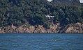 Tern diving (40308).jpg