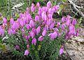 Tetratheca bauerifolia.jpg