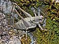 Tettigoniidae - Antaxius pedestris (female).jpg
