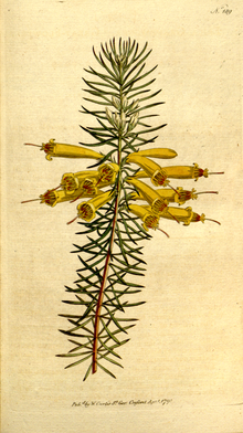 The Botanical Magazine, Plate 189 (Volume 6, 1793).png