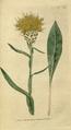 The Botanical Magazine, Plate 62 (Volume 2, 1788).png