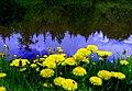 The Buttercups - a dandelions.На берегу.Лютики - одуванчики. - panoramio.jpg