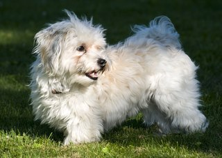 [Image: lossy-page1-320px-The_Havanese.tif.jpg]