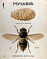 The larva and fly of the ox warble-fly (Hypoderma bovis). Co Wellcome V0022568.jpg