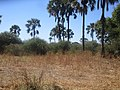 These are palm trees in Botswana, they stand tall in the village of Kachikau.jpg