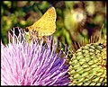 Thistle Bloom (3841094963).jpg