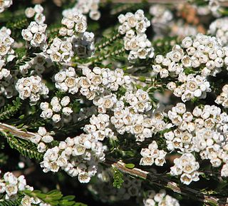<i>Thryptomene</i> genus of plants