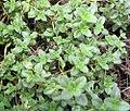 Thymus vulgaris Doone Valley 0zz.jpg