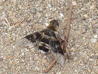 <i>Thyridanthrax fenestratus</i> Species of fly