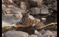 Tiger in Ranthambore 9.png