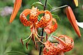 Tigerlilie (Lilium lancifolium) (15486740831).jpg