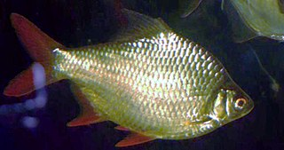 Tinfoil barb species of fish