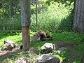 Tired brown bear 050701.JPG