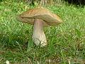 Toadstool Mushroom.JPG