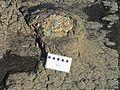 Tocones fósiles de coníferas (Jurásico) - Curio Bay Petrified Forest (Waikawa, South Island, Nueva Zelanda) - 34.jpg