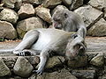 Toilettage Macaques a longue queue.jpg