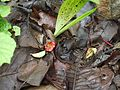 Tolypanthus lagenifer (9058144603).jpg
