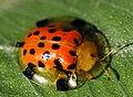 Tortoise beetle - Cassidinae (2721959156).jpg